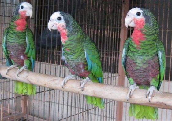 Jacksonville Birds For Sale Local Classifieds Craigslist Florida
