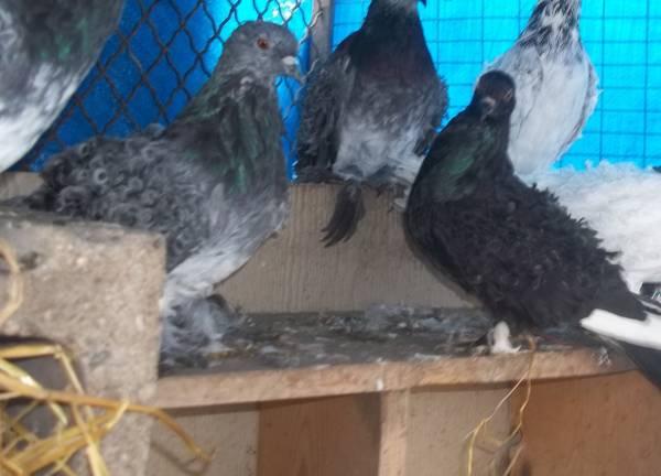 Ocala Pigeons For Sale Local Classifieds Craigslist Florida