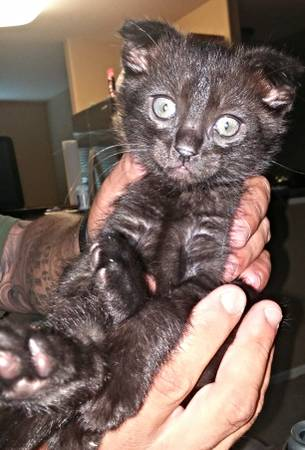 Lake Alfred Cats For Sale Local Classifieds Craigslist Florida