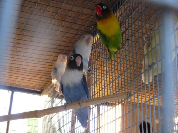 Fellsmere Birds For Sale Local Classifieds Craigslist Florida