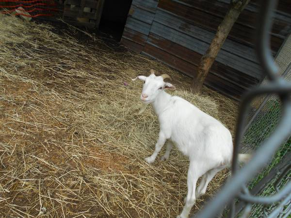 Jacksonville goat for sale local classifieds craigslist - Jacksonville craigslist farm and garden ...