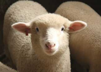 Lake Butler Sheep For Sale Local Classifieds Craigslist Florida